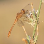 Sympetrum meridionale, young male near Kalavrita, Peloponnese - Greece in august 2009 (Photo: Lars Iversen)